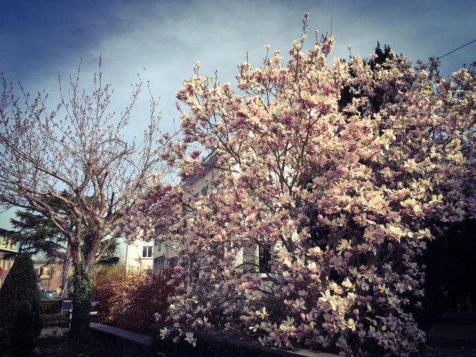 Magnolia. Te Voet in de Stad. Foto Hendrik Elie Vanden Abeele