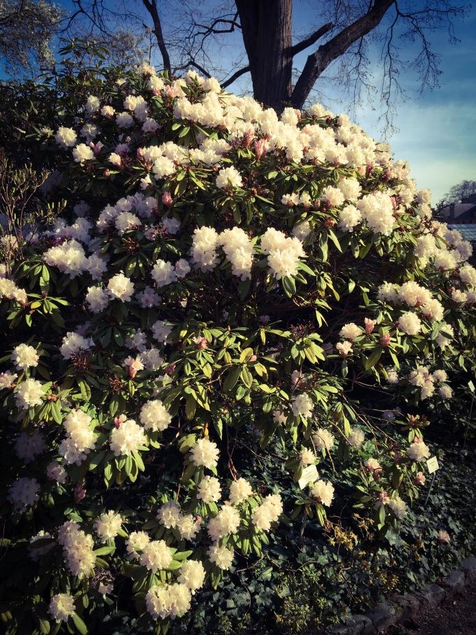 Rhododendron. Te Voet in de Stad. Foto Hendrik Elie Vanden Abeele